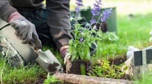 Gravskötsel. Plantering av blommor på en gravplats. Foto Manne Hermansson 2018.